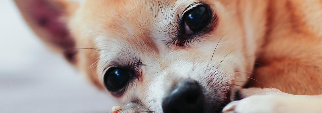 Dog-Eye-Doctor-Dallas