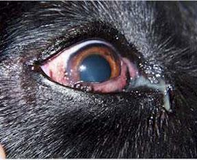 Csk Amp Plasmoma Of Third Eyelid In Dog Animal Ophthalmology Clinic